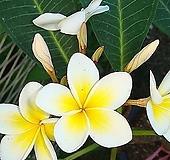 러브하와이-3대맛있는향기다육이꽃대있음|