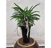 소엽풍란 원예종풍란 포트식물|