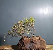 좀마삭 2개 합식,화산석화분604-2 