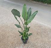 꽃피는극락조 레기니아 대품 120~160cm 599|