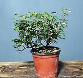 마삭줄,기엽깨마삭,605-13|