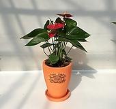 안스리움 안시리움 축하화분선물 특이식물|
