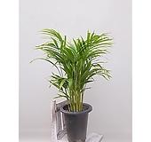 아레카야자 집안 원룸 인테리어식물|