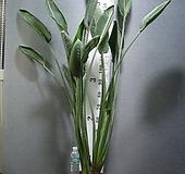 꽃피는극락조 한뿌리 2촉 대형19번-세엽-꽃대3~4 올라오고있음-동일품배송 |