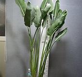 꽃피는극락조 한뿌리 2촉 대형20번-세엽-꽃대3~4 올라오고있음-동일품배송 |