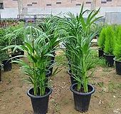 아레카야자(공기정화식물)키약50~60cm|
