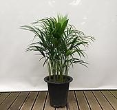 아레카야자(포트) 중품 실내 화초 인테리어 여름식물|