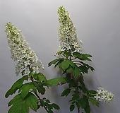 겹떡갈수국/향기꽃/노지월동 Hydrangea macrophylla