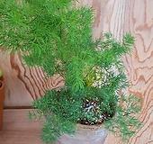 아스파라거스 이태리토분완성분 중대품(싱그런 솔채모양의 잎과 강인한 생명력) 