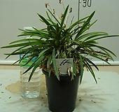 한국자생소엽풍란55번-자연산증식품-입엽성-향기죽음-년2~3회꽃핌-동일품배송|