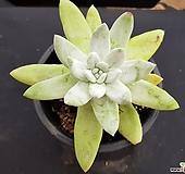 파키피덤특가 7637|Dudleya pachyphytum