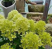 화이트라이트 목수국 Hydrangea macrophylla