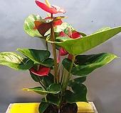 빨간안시리움(중품) 꽃이  오래동안 피어요|