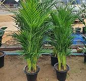 아레카야자 (신상) 공기정화식물 키약150cm|