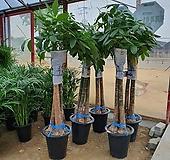 파키라 (신상)공기정화식물 키약170cm 한정수량판매 
