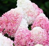 유럽최신품종 네덜란드 수국 리빙 핑크앤로즈(Pink&Rose) Hydrangea macrophylla