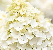 유럽최신품종 네덜란드 수국 리빙 리틀블로썸(Little Blossom) Hydrangea macrophylla