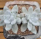파키피덤|Dudleya pachyphytum
