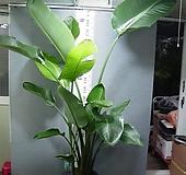 극락조 여인초 대형 3촉 29번-대엽광엽-높이 210센치-무료배송-동일품배송 |