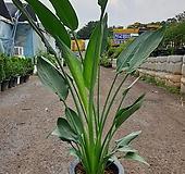 꽃피는극락조( 쭉쭉뼏어있어 시원해보여요) 새로입고 높이 120-140|