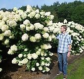 목수국 개화주 라임라이트 Hydrangea macrophylla