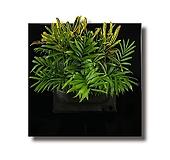 바나나크로톤3개+아레카야자3개 식물액자용 공기정화 식물 패키지|