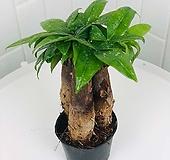 파키라 3식 공기정화식물 미세먼지제거 