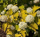 조경수 국수나무_너겟 포트 Hydrangea macrophylla  Hydrangea macrophylla