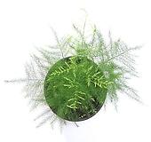 관엽식물  아스파라거스 나누스 