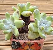 환엽야생파키피덤군생|Dudleya pachyphytum
