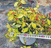 [더케이야생화] 황금마삭줄 18cm 화분|