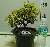 극좀황금마삭줄세월목40번-쌀알만한잎-묵은굵은줄기-황금색-동일품배송|
