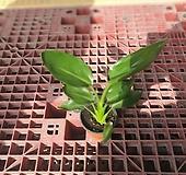 꽃피는 극락조 레기니아 소중품 30~45cm 59|