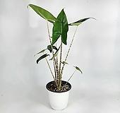 제브리나 알로카시아 공기정화식물 무늬줄기 한빛농원|