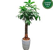 파키라 삼식이 대형 전시회식물 인테리어식물 축하식물 DLP-203 