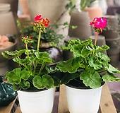 서비내 제라늄 높이 약 40cm 공기정화식물 실내인테리어 키우기 쉬운 식물|pelargonium inquinans