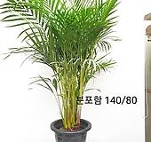 대품아레카야자 굵은 목대/뿌리가 한몸/동일품배송 |Echeveria Riga