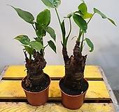 뿌리알로카시아(한몸) 묶은둥이에요 (수경재배가능)|