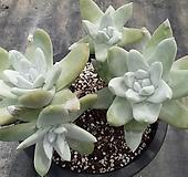 묵은파키피덤 4두대품(특가)|Dudleya pachyphytum
