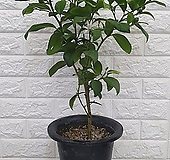 ♥오렌지 레몬 나무35 ♥열매 많이 달려있습니다~|