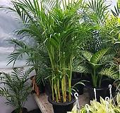 아레카야자 공기정화식물|