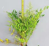실내 공기정화식물 남천나무, 100cm전후|