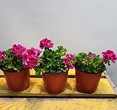 제라늄(진한핑크색) 꽃이 여러번와요(새로입고) |pelargonium inquinans