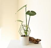 몬스테라 수경재배식물 골드프레임 세라믹 화병&식물 SET 