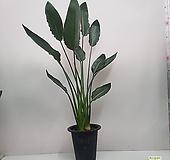 극락조 꽃피는극락조  늘씬한 기럭지 키 120~140cm |