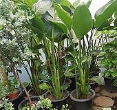 극락조 여인초 키130~150cm|
