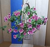 #(목대,묵은둥이)엔젤아이스퍼퓸,랜디제라늄@행잉바스켓|Geranium/Pelargonium