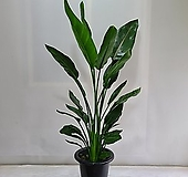 꽃피는 극락조 대형/공기정화식물/반려식물/온누리 꽃농원|