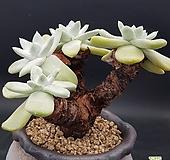 두들레야) 야생파키피덤 0628-797|Dudleya pachyphytum