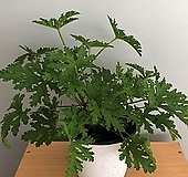 [희희낙락플라워]구문초 중품/로즈제라늄/모기퇴치 식물 |